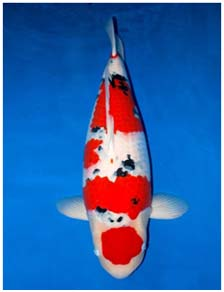 Alkaline up aquatic koi system provider for Ph for koi fish